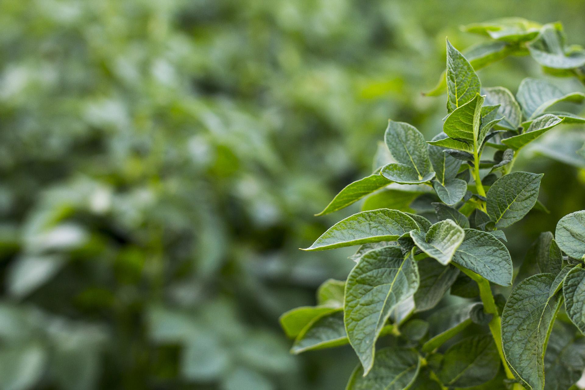 Van Woerden Flevo - biologische aardappelen in veld