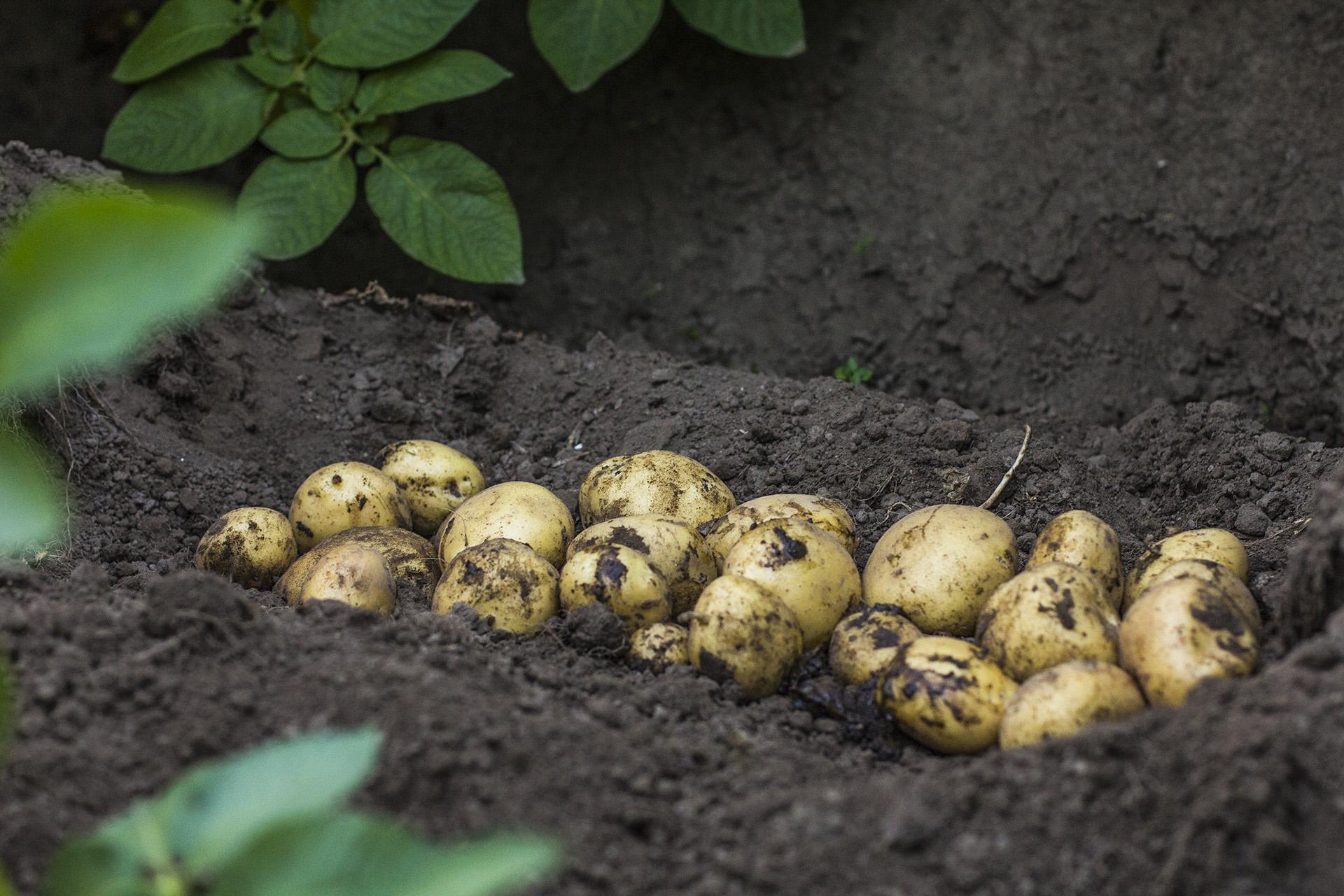 Van Woerden Flevo - biologische aardappel in rug